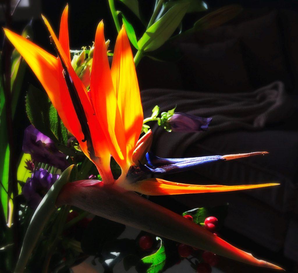 Schnabelblume