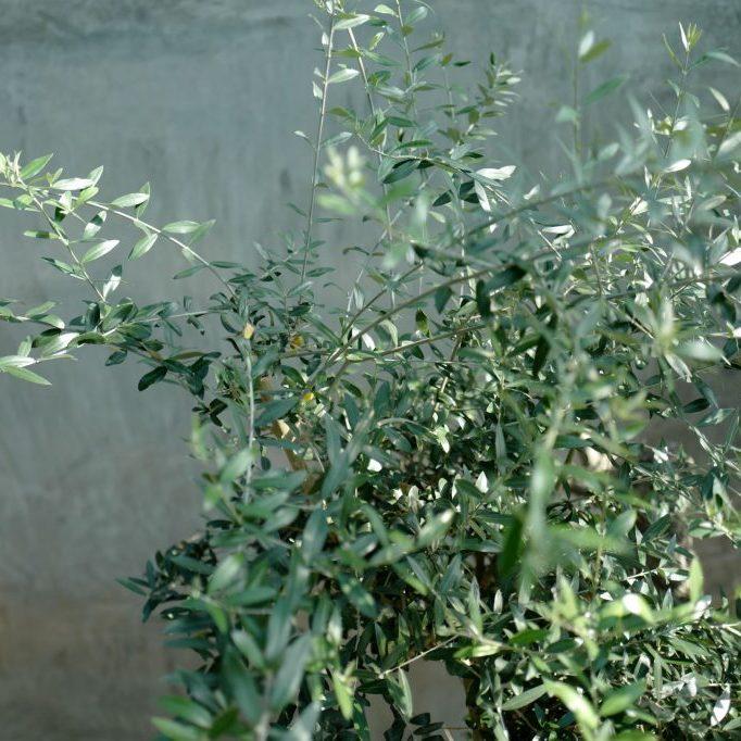 Olivenzweige L